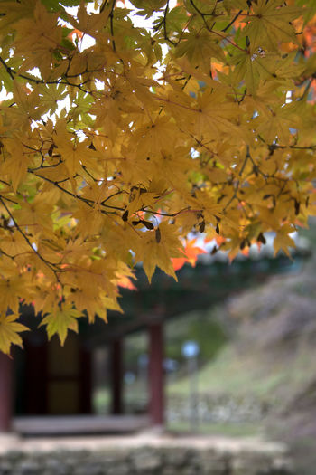 autumn at Gochang Eupseong in Jeonbuk, South Korea Fall Beauty Tranquility Animal Themes Autumn Autumn Color Beauty In Nature Branch Close-up Day Fall Flower Fragility Freshness Gochang Growth Leaf Maple Nature No People Outdoors Tree