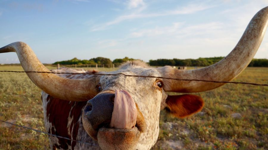 Portrait of cow licking nose by fence against sky