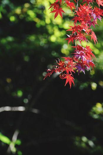 犬山寂光院の紅葉 もみじ 紅葉 犬山寂光院 犬山 Tree Beauty In Nature Leaf Nature