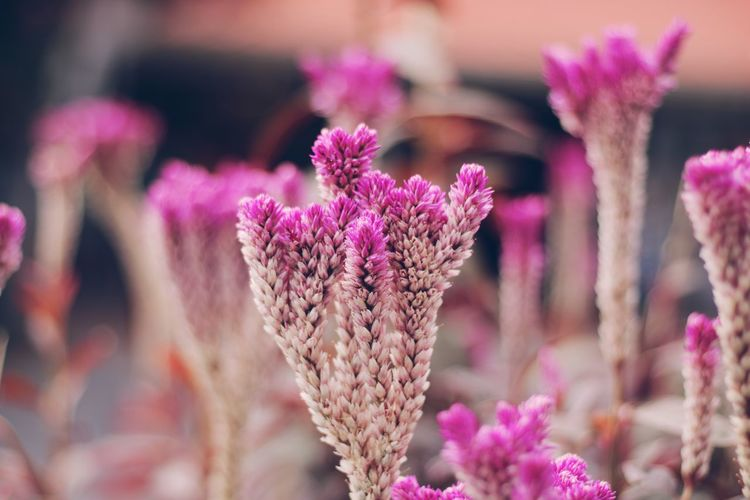 The happiest place on earth Beauty In Nature Blooming Close-up Day Flower Flower Head Focus On Foreground Fragility Freshness Growth Nature No People Outdoors Pink Color Plant Purple