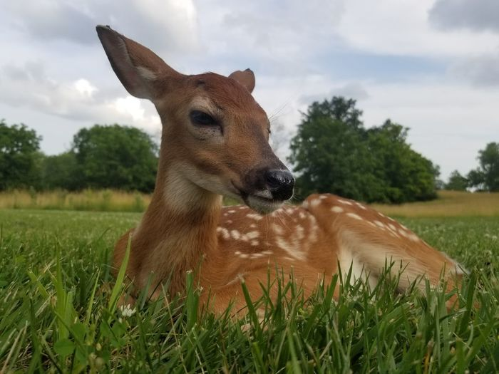 Fawn came to