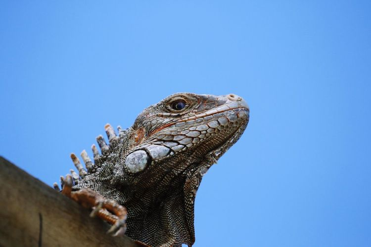 Animal Themes Aruba Reptile Lizard Clear Sky Animal Wildlife Close-up