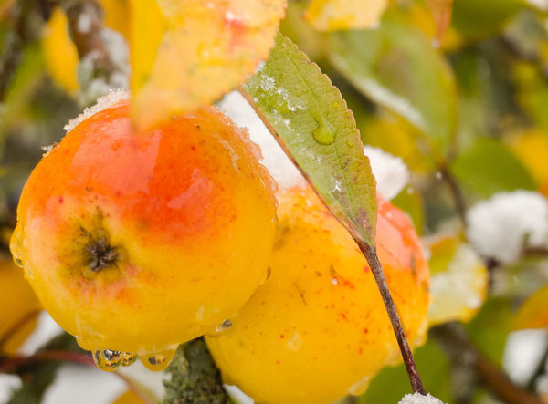 Food Close-up Fruit Healthy Eating Freshness Wellbeing Focus On Foreground No People Drop Nature Wet Leaf Day Water Growth Plant Plant Part Outdoors Ripe Snow Winter Apple