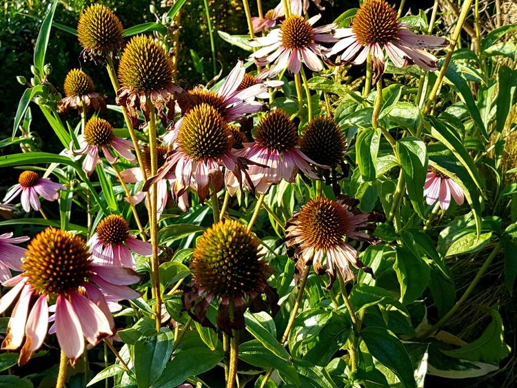 Fainted Faint Beauty Group Of Flowers Numerous Flower Head Eastern Purple Coneflower Flower Coneflower Close-up Plant Blooming In Bloom Plant Life Stamen Botany Petal Blossom Fragility Black-eyed Susan