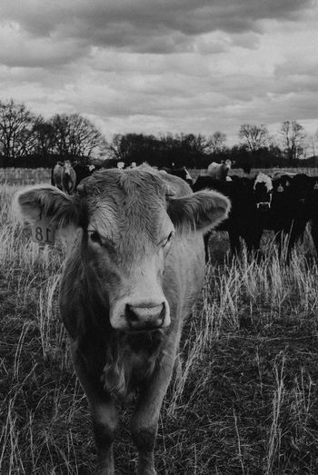 Farm Cow Animal Themes Mammal Domestic Animals Field Cow Livestock One Animal Looking At Camera Outdoors Sky Portrait Grass No People Landscape Nature Standing Day