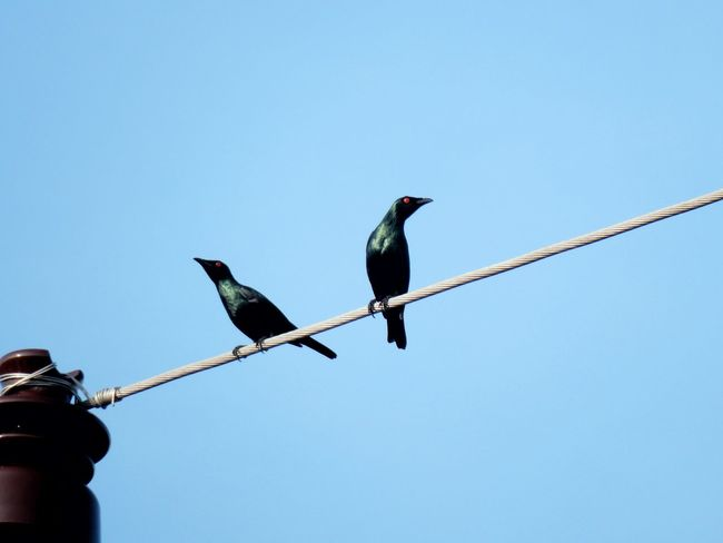 Birds on electrical wires Bird Animals In The Wild Animal Wildlife Blue Perching Clear Sky Animal Themes Starling Day Outdoors No People Electric Wires