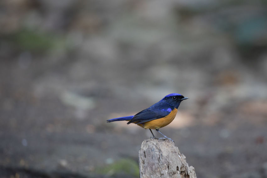 Cyornis rubeculoides The blue-throated blue flycatcher (Cyornis rubeculoides) is a small passerine bird in the flycatcher family, Muscicapidae. It resembles Cyornis tickelliae but easily separated by the blue throat. Blue Bird Cyornis Rubeculoides The Blue-throated Blue Flycatcher Bird Blue Flycatcher Flycatcher Wild Bird Wild Life
