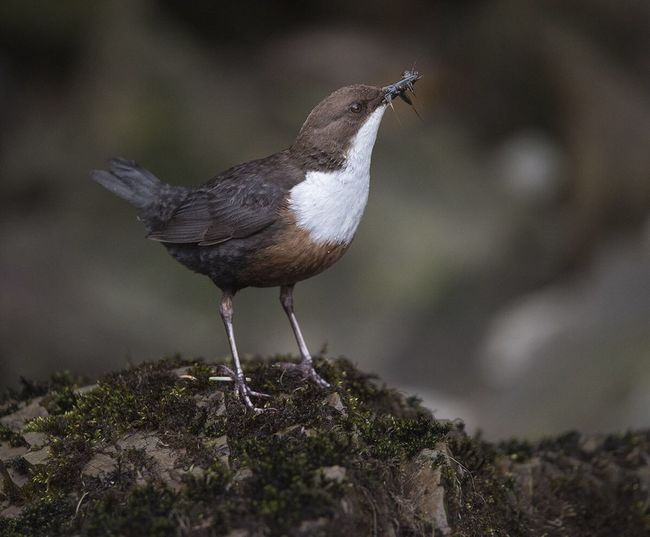 White-throated dipper hunting insect on rock