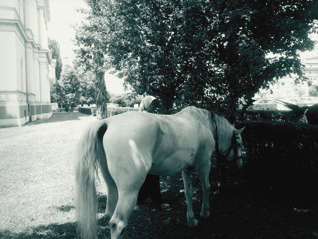 Horses Blackandwhite Photography Animals Sarajevo Bosnia And Herzegovina love it :)