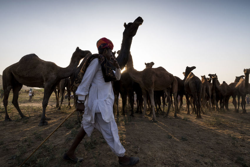 Pushkar Fair, Oct 2017 | Rajasthan | India India Livestock Pushkar Travel Annual Event Camels Cattle Fair Domestic Animals Fair Full Length Herder Large Group Of Animals Mammal One Person Outdoor People Pushkarcamelfair Pushkarfair Pushkarmela Rajasthan Trade
