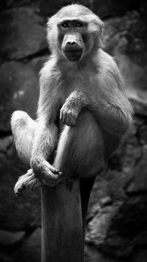 Animal Themes Animal Wildlife Animals In The Wild Ape Baboon Chimpanzee Close-up Day Full Length Mammal Monkey Nature No People One Animal Outdoors Primate Sitting Tree