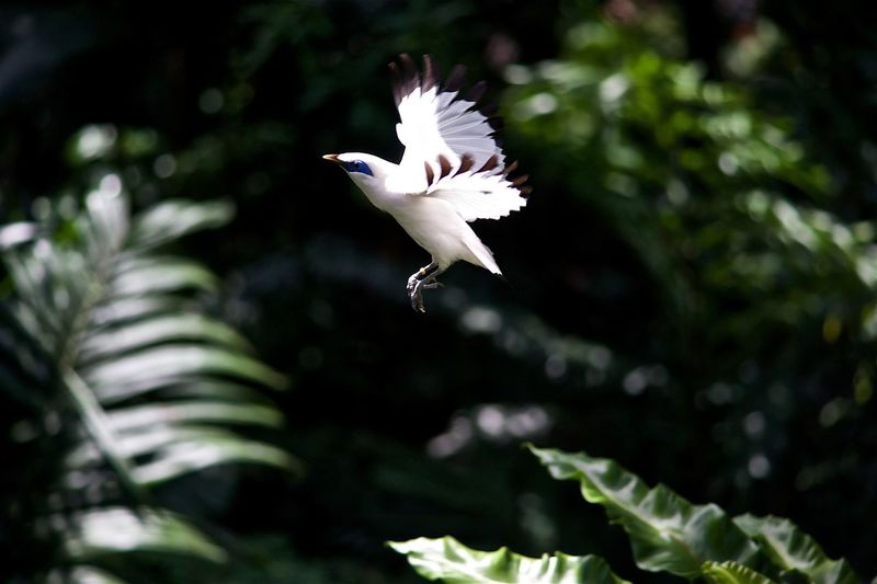 Flying Bali Mynah Animal Animal Themes Animal Wildlife Animals In The Wild Bird Day Flapping Flying Focus On Foreground Growth Mid-air Motion Nature No People One Animal Outdoors Plant Spread Wings Tree Vertebrate White Color