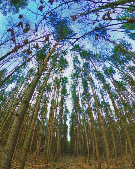 Cold Days Cold Temperature Winter Liepnitzwald Liepnitzsee GoProhero6 Gopro Wandlitz Tree Forest Nature Tall - High Growth Beauty In Nature Low Angle View Tranquility Tree Trunk Scenics Tranquil Scene Outdoors Day No People Sky Tree Area