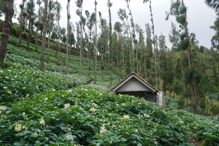 garden, Mount Bromo. Plant Growth Tree Land Green Color Nature Forest Day Tranquility Beauty In Nature No People Tranquil Scene Landscape Architecture Non-urban Scene Scenics - Nature Field Outdoors Sky Built Structure Bromo Bromo-tengger-semeru National Park Bromo Mountain Potato Plantation