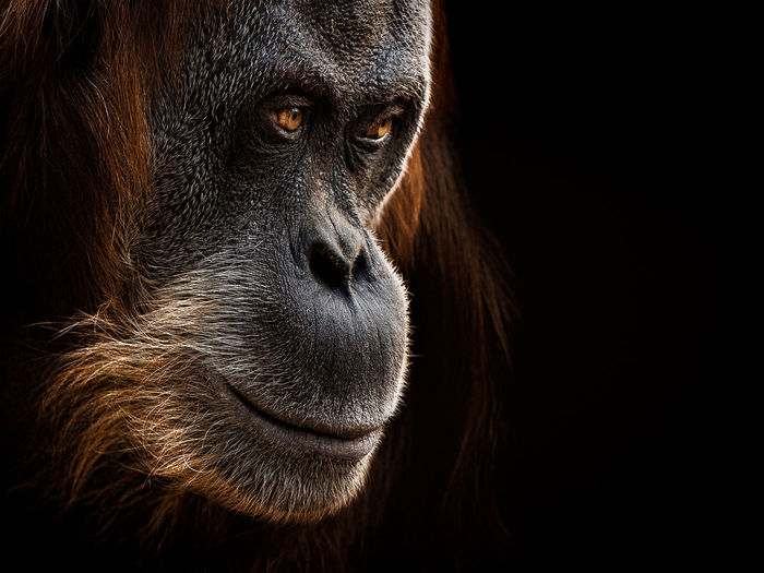 Close-Up Of Orangutan Looking Away Against Black Background
