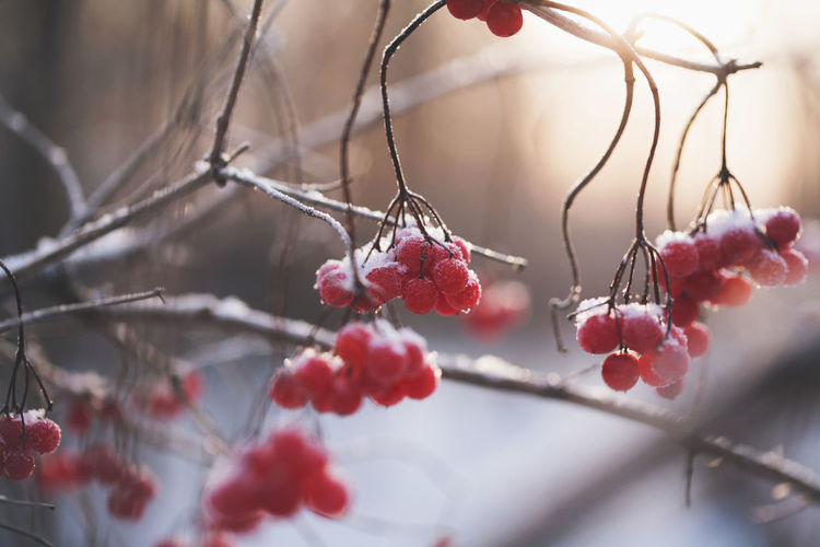 Nature living through the day. EyeEm Selects Tree Branch Snow Winter Cold Temperature Fruit Red Rose Hip Close-up Plant Winter Cherry Frost Weather Condition Cherry
