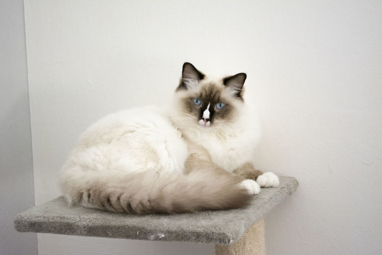 Portrait of cat sitting on table against wall