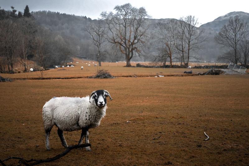 Portrait of sheep on land