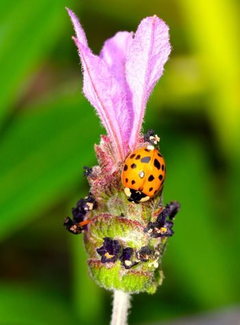 Harlequin Ladybird on a lavender Stem Beauty In Nature Bug Life Close-up Flower Focus On Foreground Fragility Green Color Growth Insect Insect Photography Ladybird Ladybug Lavender Multi Colored Nature No People Outdoors Plant Selective Focus