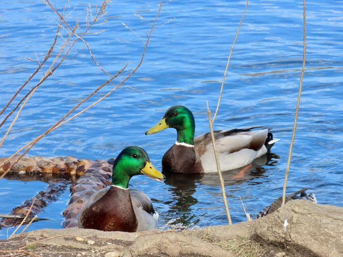 Mallards male ducks two birds swimming close up outdoors beauty in nature water animal themes Animal Wildlife Water Bird No People