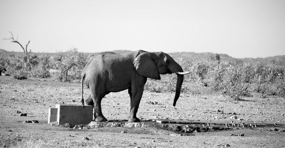 Side view of elephant standing on field against sky
