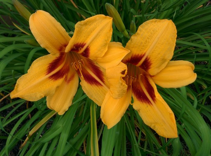 Close-up of yellow lilies
