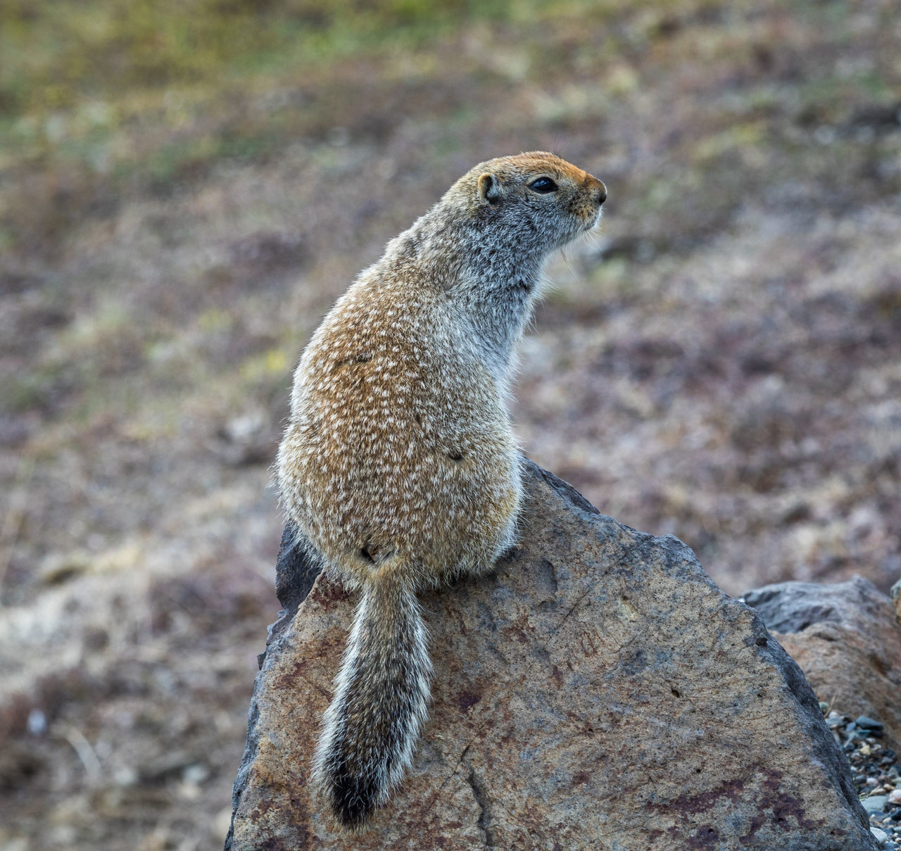 animal themes, animal, animal wildlife, one animal, animals in the wild, mammal, rock, rock - object, solid, no people, meerkat, nature, focus on foreground, vertebrate, day, rodent, close-up, land, looking, looking away
