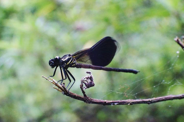 Dragonfly Bug
