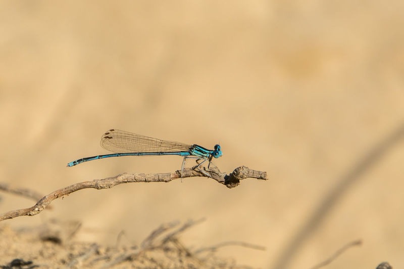 Close-up of damselfly perching on branch