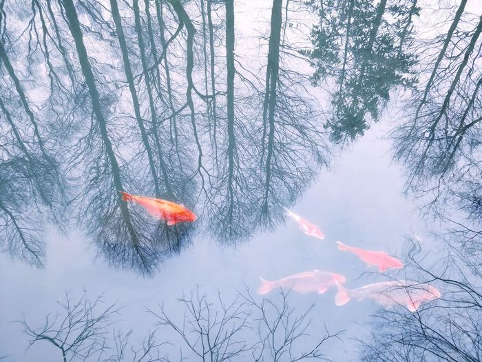 鱼游天际 Tree Koi Carp Snowcapped Snow Covered Goldfish Jellyfish Large Group Of Animals Fish Tank Fishbowl Pond Snowcapped Mountain Carp Snow Fish Aquarium Flock Of Birds Flock Of Sheep School Of Fish Migrating Swimming Sea Life