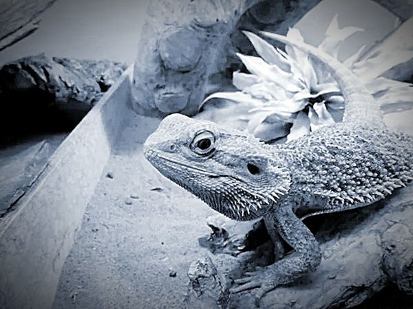 Dragons Den...... Playing With The Animals Animalsposing Animalphotography Reptiles Reptilesofinstagram Lovereptiles Bearded Dragon Bearded Dragon Love Beardeddragon