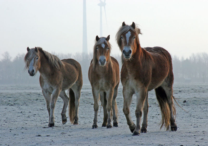 Horses in the winter I Alternative Energy Bio Energy Clean Energy Cleaner Environment Fresh On Eyeem  Horizon Over Water Horses Horses In The Snow Mammal Outdoors Sustainability Sustainable Resources Wind Farm Wind Turbines Window Winter Winter Scene Ice Age Snow Sports
