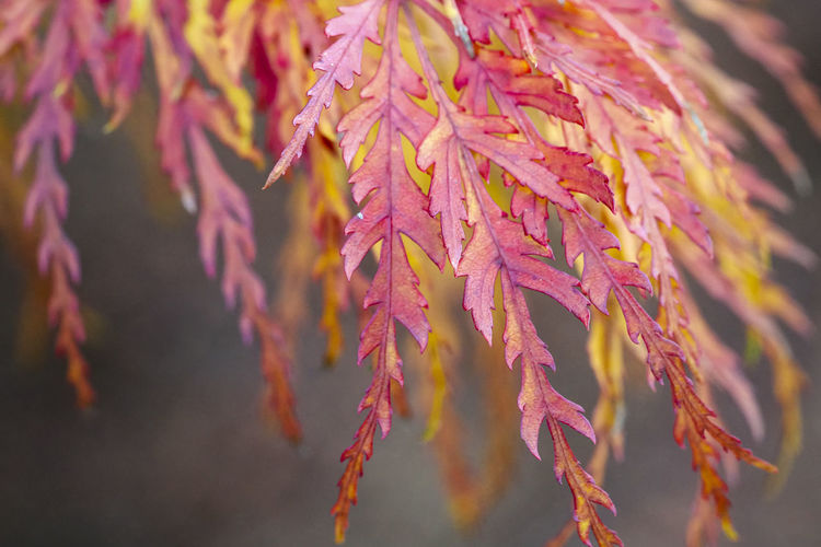 Japanese maples Autumn Beauty In Nature Branch Change Close-up Day Focus On Foreground Fragility Growth Leaf Leaves Natural Condition Nature No People Outdoors Pink Color Plant Plant Part Purple Selective Focus Tranquility Vulnerability