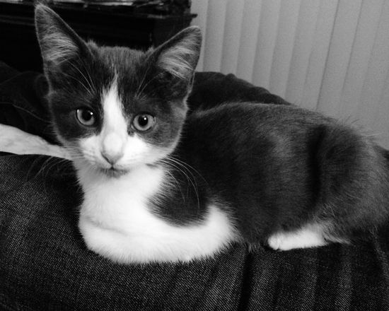 Blackandwhite Cute Pets Kitten Things I Like 2018 Pets Domestic Domestic Cat Cat Domestic Animals Mammal Animal Themes Feline Animal One Animal Vertebrate Looking At Camera Portrait Indoors  Relaxation Home Interior Whisker No People Sofa Close-up
