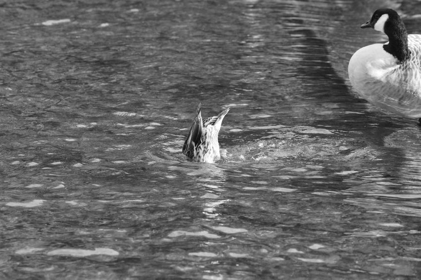 Water No People Tranquility Animal Water Surface Motion Black And White Allmyphotography Bakewell Black & White Day Nature Outdoors