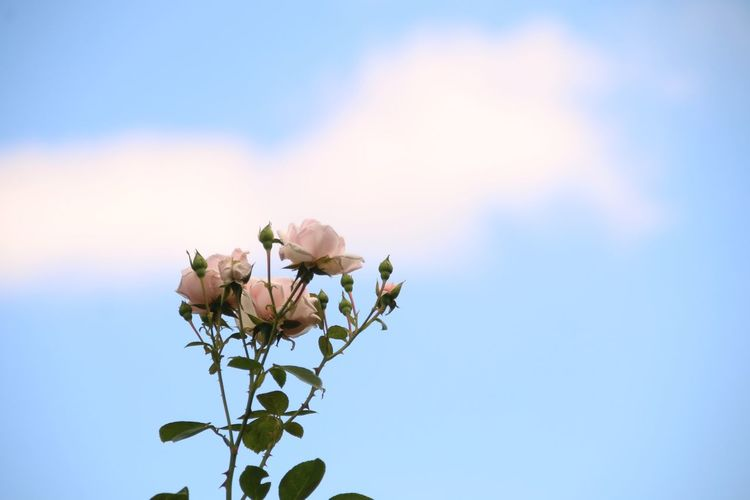 Roses in the sky Roses Pastel Roses Pink Cloud - Sky EyeEm Selects Flower Head Flower Leaf Blue Summer Sunlight Sky In Bloom Single Rose The Still Life Photographer - 2018 EyeEm Awards