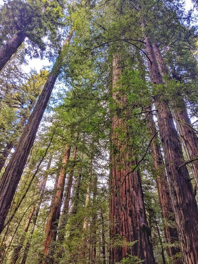 Looking up. Redwood Forest. Armstrong. Redwood Looking Up Distant Blue Tree Branch Forest Bamboo - Plant Bamboo Grove Tree Trunk Tree Area Sky Pine Woodland Lush - Description Growing Tree Canopy  Dense Young Plant Treetop