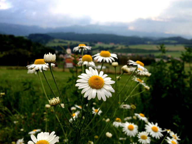 Beauty In Nature Blooming Camomile Close-up Day Field Flower Flower Head Focus On Foreground Fragility Freshness Growth Mountains Nature No People Outdoors Petal Plant Pollen Sky White Flower Yellow