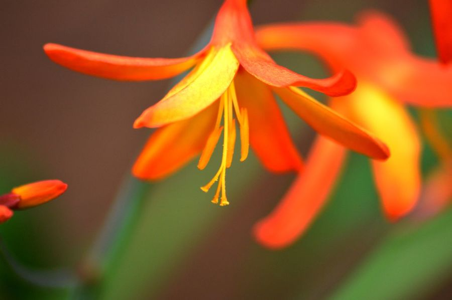 Beauty In Nature Blooming Close-up Crocosmia Day Flower Flower Head Focus On Foreground Fragility Freshness Growth Nature No People Outdoors Petal