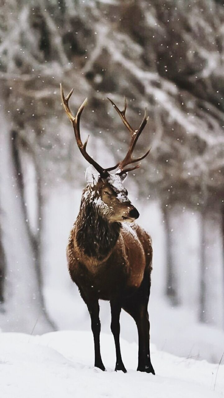 snow, cold temperature, winter, animal themes, antler, deer, one animal, field, no people, animals in the wild, nature, standing, reindeer, mammal, day, outdoors, stag, snowing