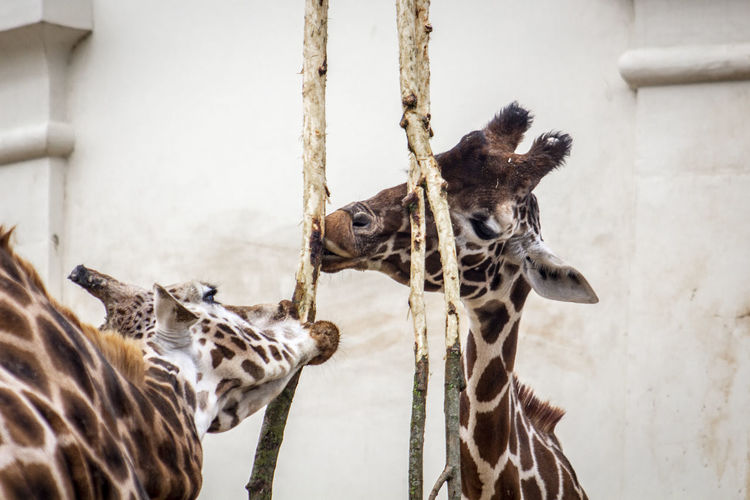 Animal Themes Animal No People Mammal Day Giraffe Zoo Zoology Zoo Animals  Zoophotography Giraffes Vertebrate Animal Head  Animal Neck Herbivorous Close-up Close Up Eating Branch Tree Animals Animals In Captivity Togetherness Animal Family Two Animals