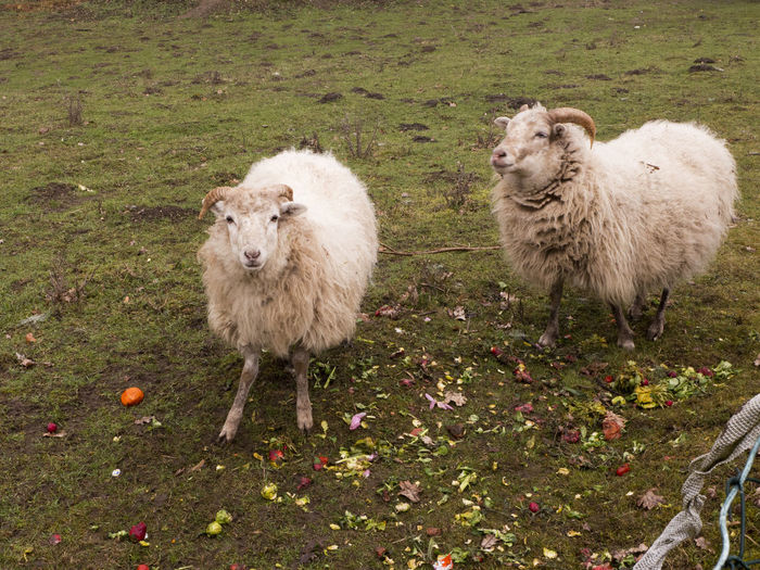 Two sheep with thick winter fur stand in the rain in the pasture and look at me expectantly Animal Animal Themes Livestock Mammal Domestic Animals Group Of Animals Domestic Grass Two Animals Land Sheep Pets Nature Field Plant Day Herbivorous Fur Thick White Pasture Meadow Looking At Camera Countryside Standing
