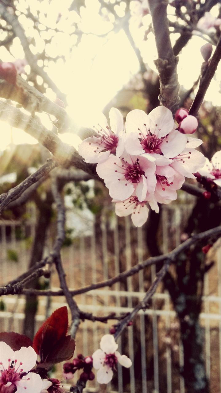 flower, tree, fragility, blossom, beauty in nature, nature, growth, petal, branch, freshness, day, focus on foreground, orchard, apple blossom, no people, white color, springtime, outdoors, flower head, close-up, pink color, plum blossom, blooming