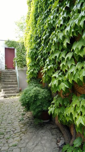 Vines On Wall Green Green Color Door Steps Architecture Plant Green Color Building Exterior Built Structure Backyard Creeper Creeper Plant Growing