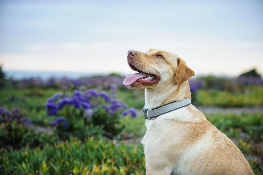 Yellow Labrador Retriever dog Animal Themes Day Dog Labrador Retriever No People Outdoors Pet Yellow Labrador Yellow Labrador Retriever