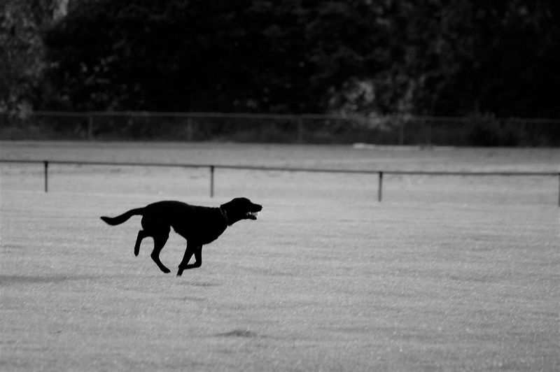 Dog running across a field with a tennis ball in his mouth. Animal Themes Animal One Animal Pets Domestic Domestic Animals Mammal Vertebrate Dog Canine No People Field Motion Motion Capture Capture The Moment Black Dog Blackandwhite Cut Grass Running Mid-air Speed Full Length Nature Beauty In Nature Land Day Outdoors Sunlight Silhouette Shadow High Angle View Side View Profile View Selective Focus Tennis Ball Mouth Open Holding Gripping Retrieve Game Sport