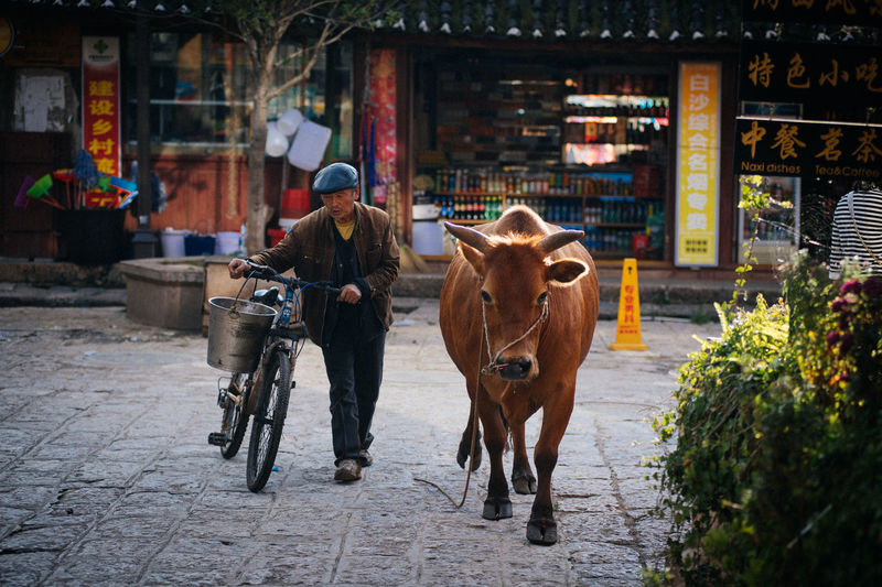 Man walks his cow to the field on a cold autumn morning in the small village of Baisha, in the southern Chinese province of Yunnan. Bicycle China Chinese Man Countryside Cow Daily Life Domestic Animals Lijiang Livestock Mammal One Animal One Man Only One Person Real Life Real People Village Village Life Villager Yunnan Yunnan ,China 中国 丽江 云南 牛