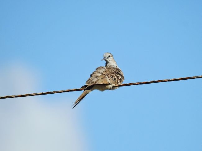 Pidgeon  Wire Bird Animals In The Wild One Animal Animal Themes Clear Sky Perching Animal Wildlife Low Angle View Copy Space Blue Day No People Outdoors Nature Sparrow Mourning Dove Sky Bird Of Prey