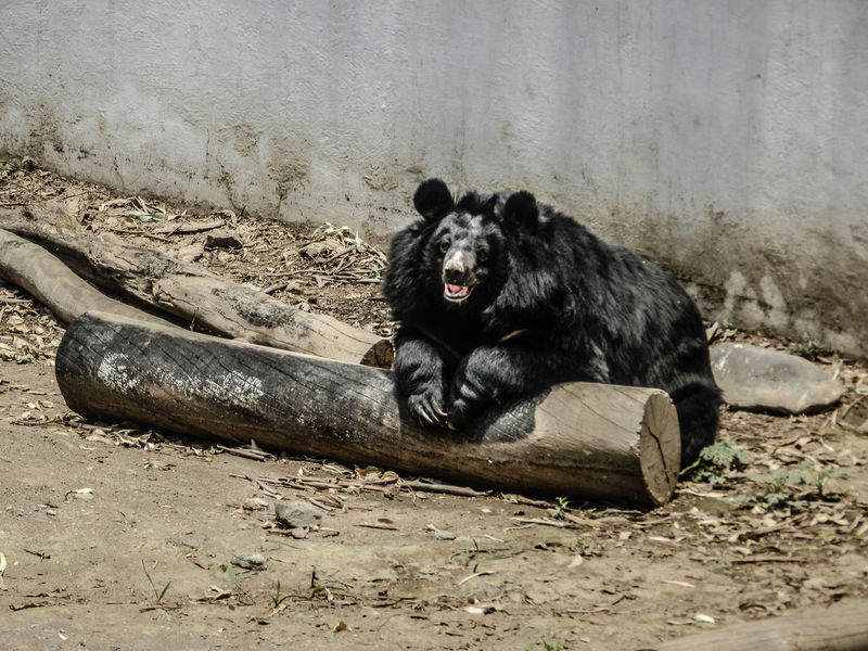 Happy Asian black Bear Black Bear Bear Animal Photography Check This Out Wildlife Black India Indian Smile Happy Happy Bear Happy Anímals Fine Art Photography On The Way Bears Hello World Welcome Friend