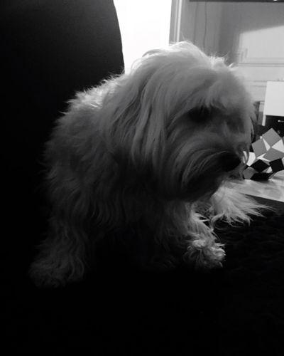 Isis😍 Ilovemydog IPhoneography Eyeemblack & White Mybaby❤ 🐶🐶
